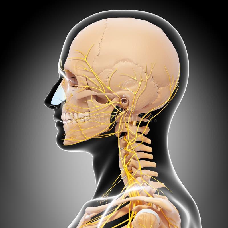 Anatomia ludzkiej głowy układ nerwowy z gardłem ilustracja wektor