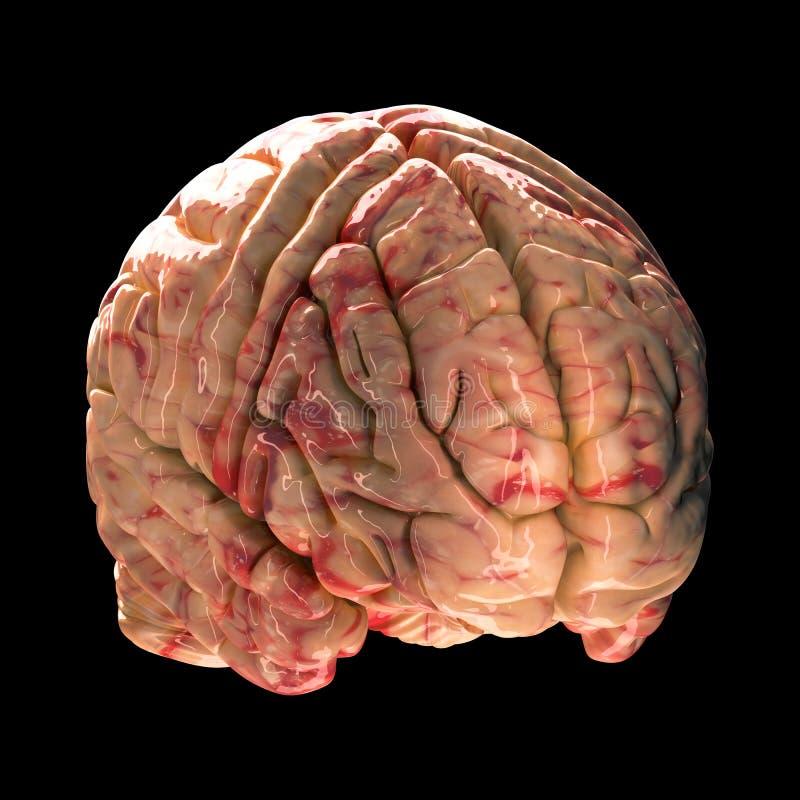 Anatomia mózg - Isometric widok ilustracja wektor