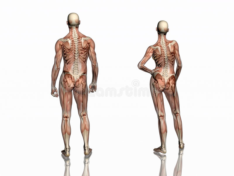 Anatomia, músculos transparant com esqueleto. ilustração do vetor