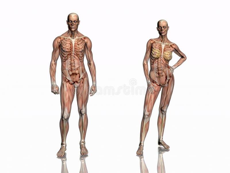 Anatomia, músculos transparant com esqueleto. ilustração stock