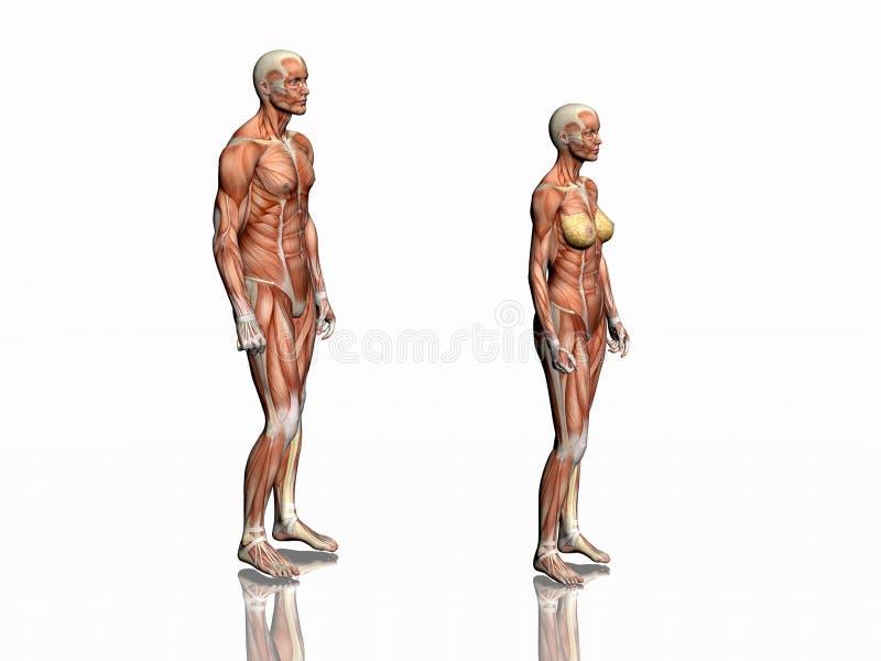 anatomia mężczyzna kobieta royalty ilustracja
