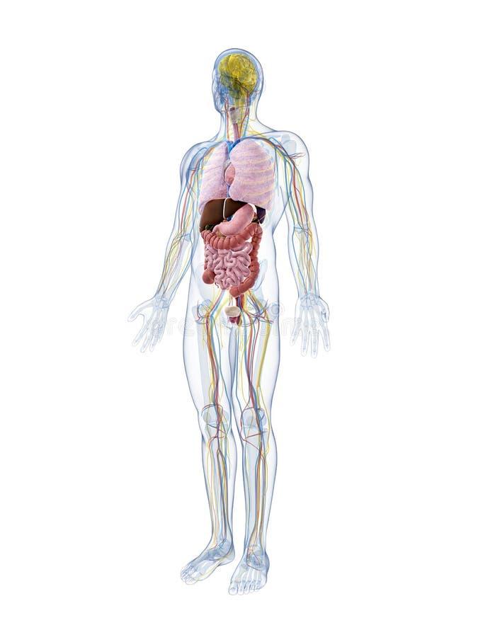 Anatomia Maschio Fotografie Stock Libere da Diritti