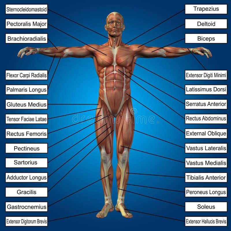 anatomia maschio umana 3D con i muscoli ed il testo illustrazione vettoriale
