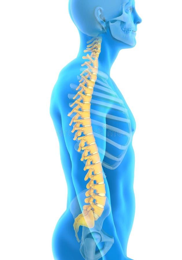 Anatomia maschio umana della spina dorsale illustrazione vettoriale