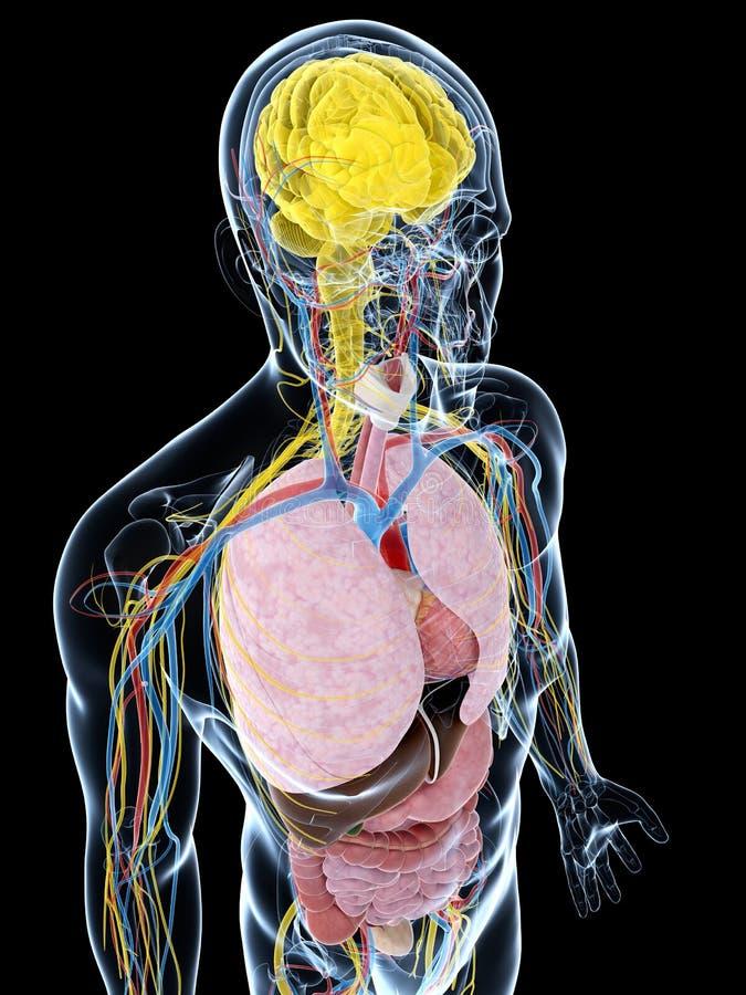 Anatomia masculina ilustração do vetor