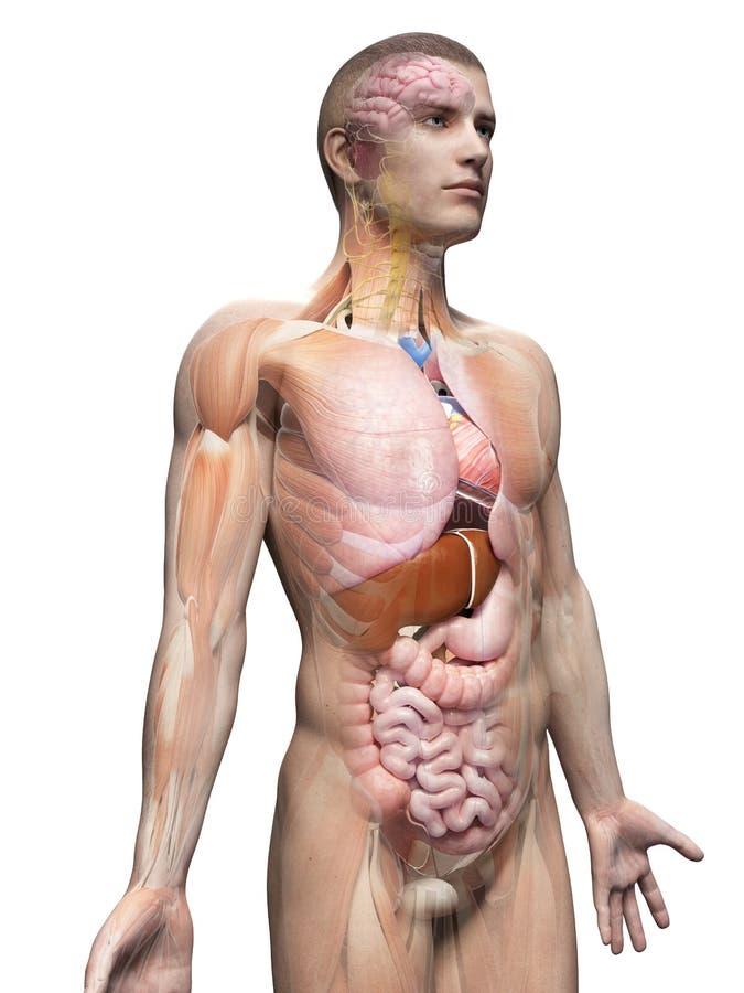 A anatomia masculina ilustração stock