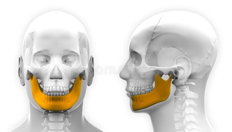 Anatomia masculina do crânio do osso da mandíbula - isolada no branco ilustração do vetor