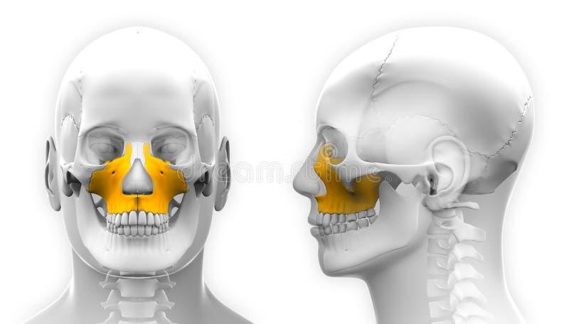 Anatomia masculina do crânio do osso do Maxilla - isolada no branco ilustração royalty free