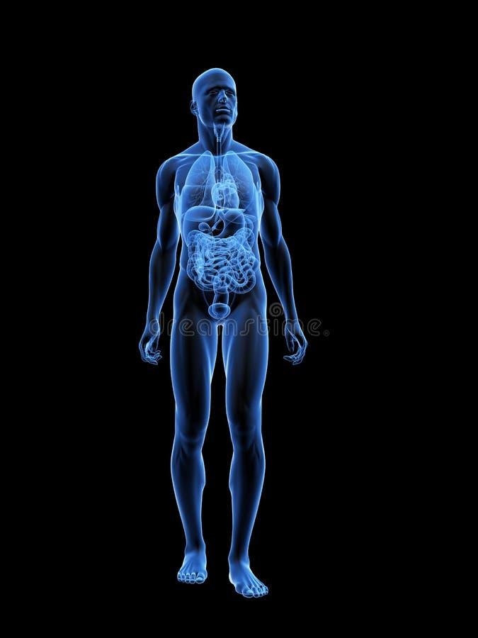 Anatomia Masculina Do Raio X Ilustração Stock - Ilustração de ...