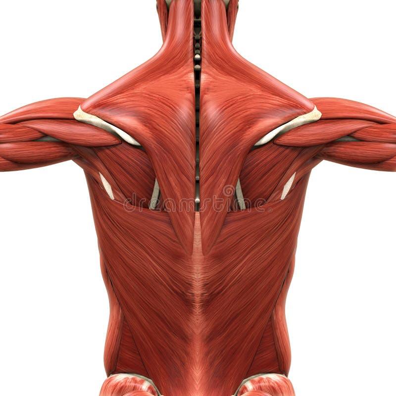 Anatomia muscolare della parte posteriore illustrazione di stock