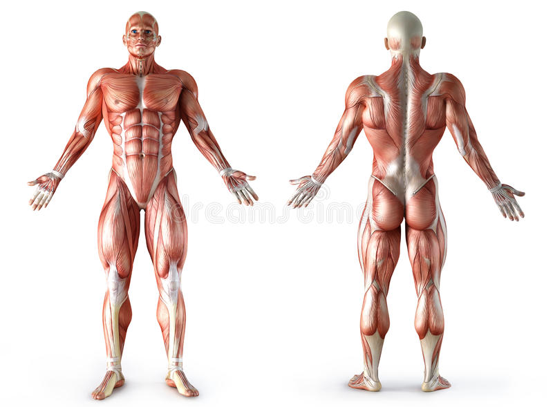 Anatomia, muscoli illustrazione vettoriale