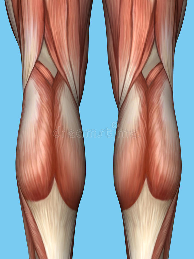 Anatomia plecy nogi royalty ilustracja