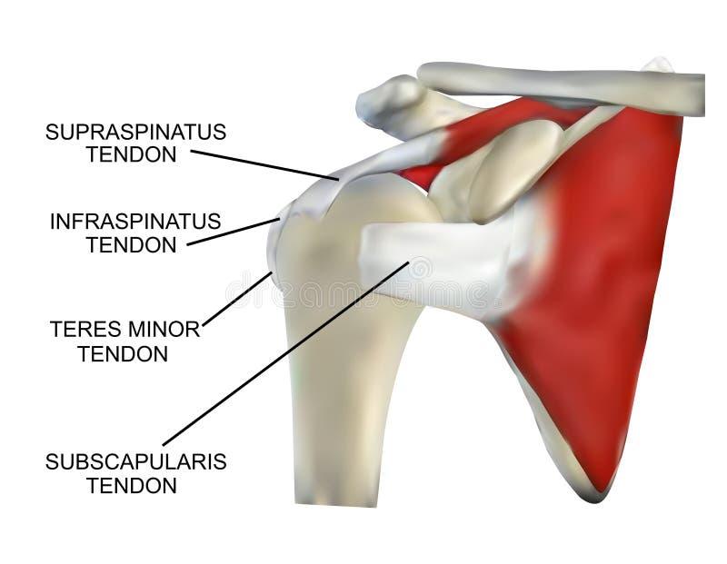 Anatomia Rotator mankiecika mięśnie ilustracja wektor