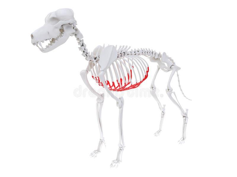 Anatomia scheletrica - cartilagine costale illustrazione di stock