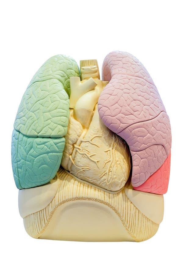Anatomia segmentu płuca model, wewnętrzni organy ciało ludzkie obrazy royalty free