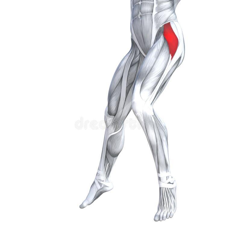 Anatomia superior dianteira do ser humano do pé ilustração royalty free