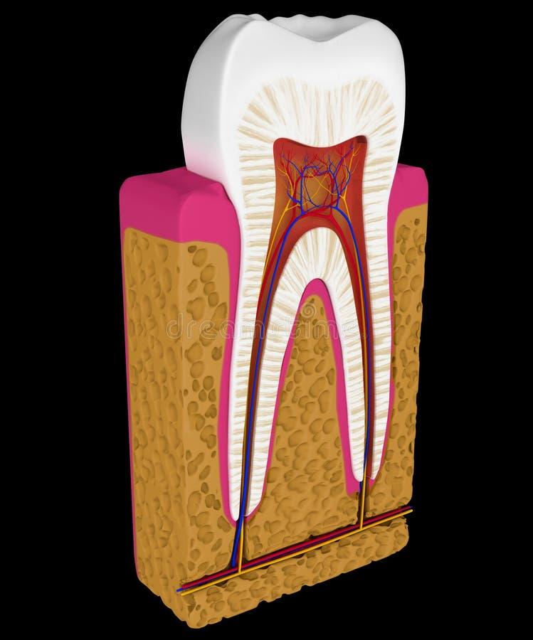 Anatomia: Taglio o sezione del dente isolata illustrazione di stock