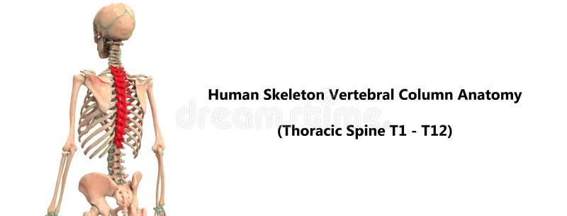 Anatomia toracica della spina dorsale della colonna vertebrale del sistema di scheletro del corpo umano illustrazione di stock