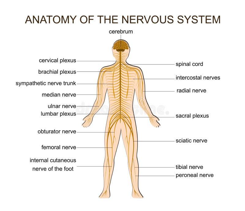 ANATOMIA układ nerwowy ilustracji