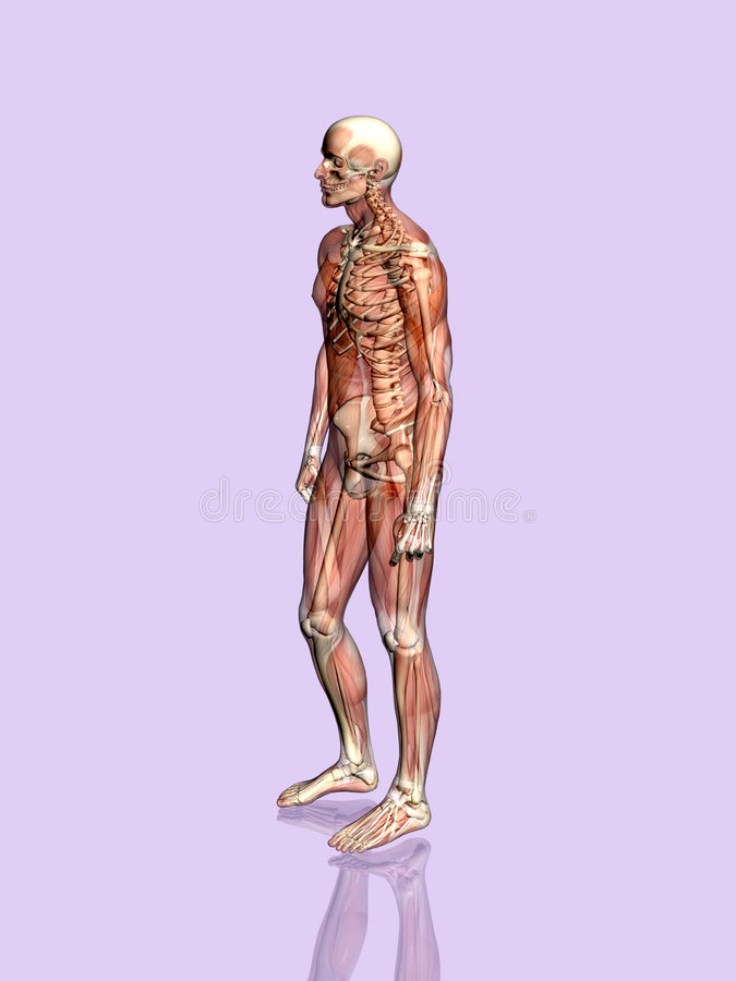 Download Anatomia Um Homem Muscular, Transparant Com Esqueleto. Ilustração Stock - Ilustração: 200018