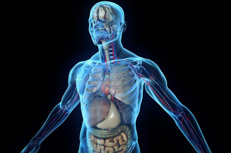 Anatomia umana illustrazione vettoriale