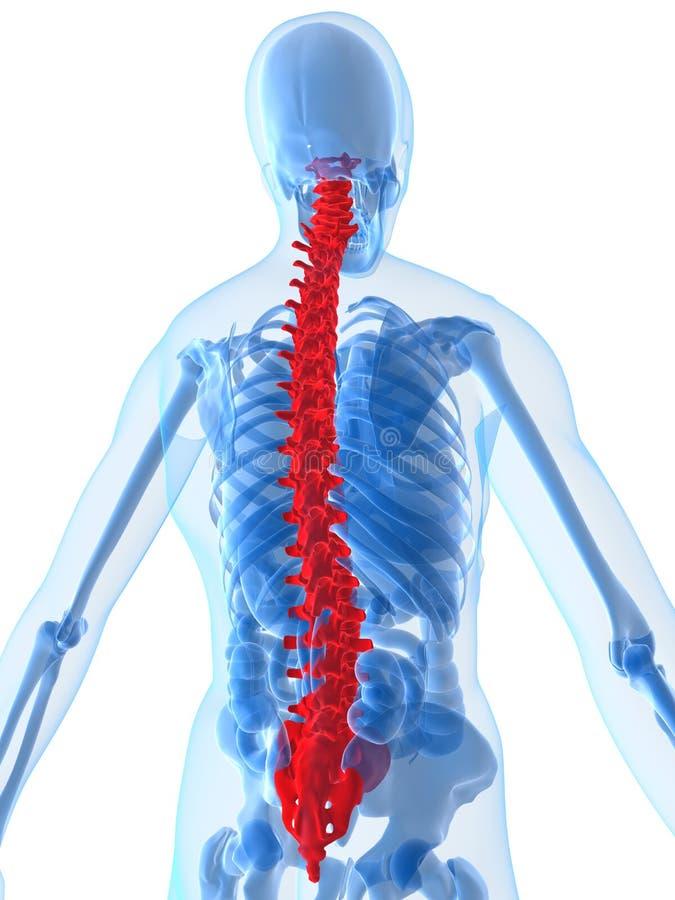 Anatomia umana con la spina dorsale illustrazione di stock