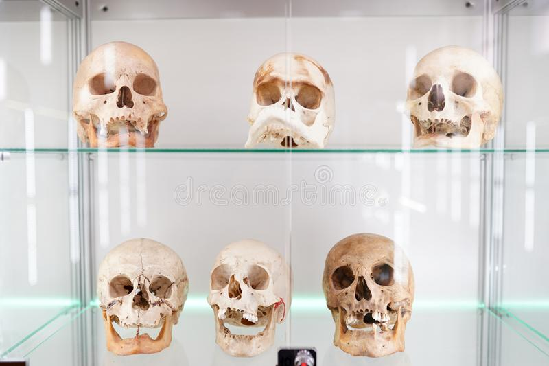 Anatomia umana dei crani parte del corpo umano su fondo leggero museo di scienza medica immagine stock libera da diritti