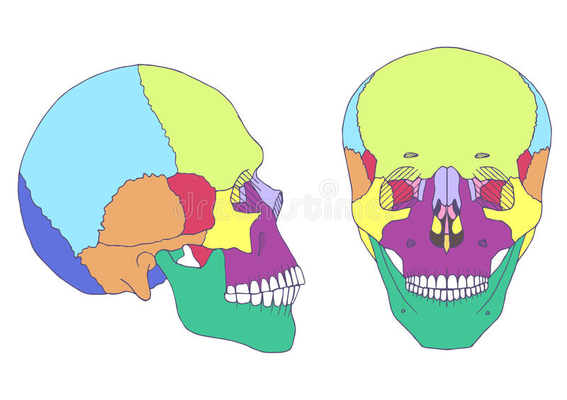 Anatomia umana del cranio, illustrazione di stock