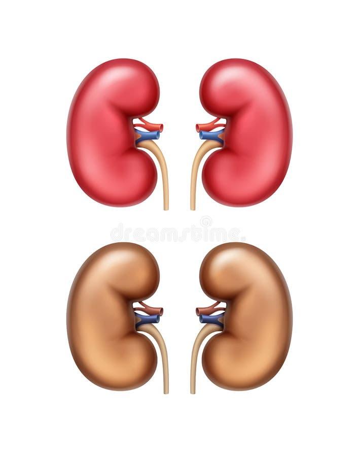 Anatomia umana del rene illustrazione di stock
