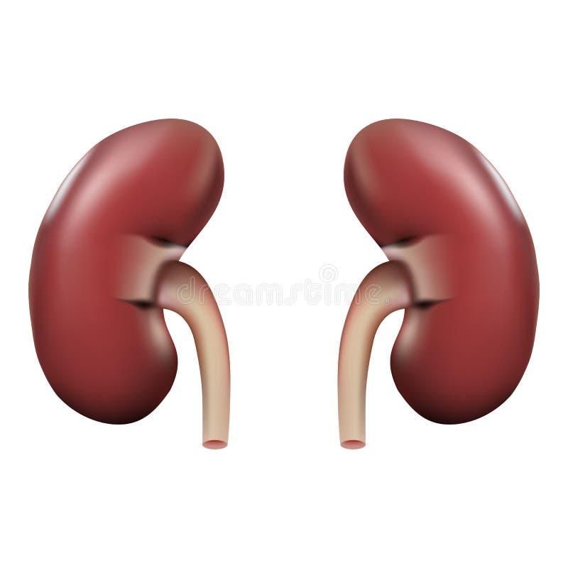 Anatomia umana del rene isolata su un fondo bianco Illustrazione realistica di vettore illustrazione di stock