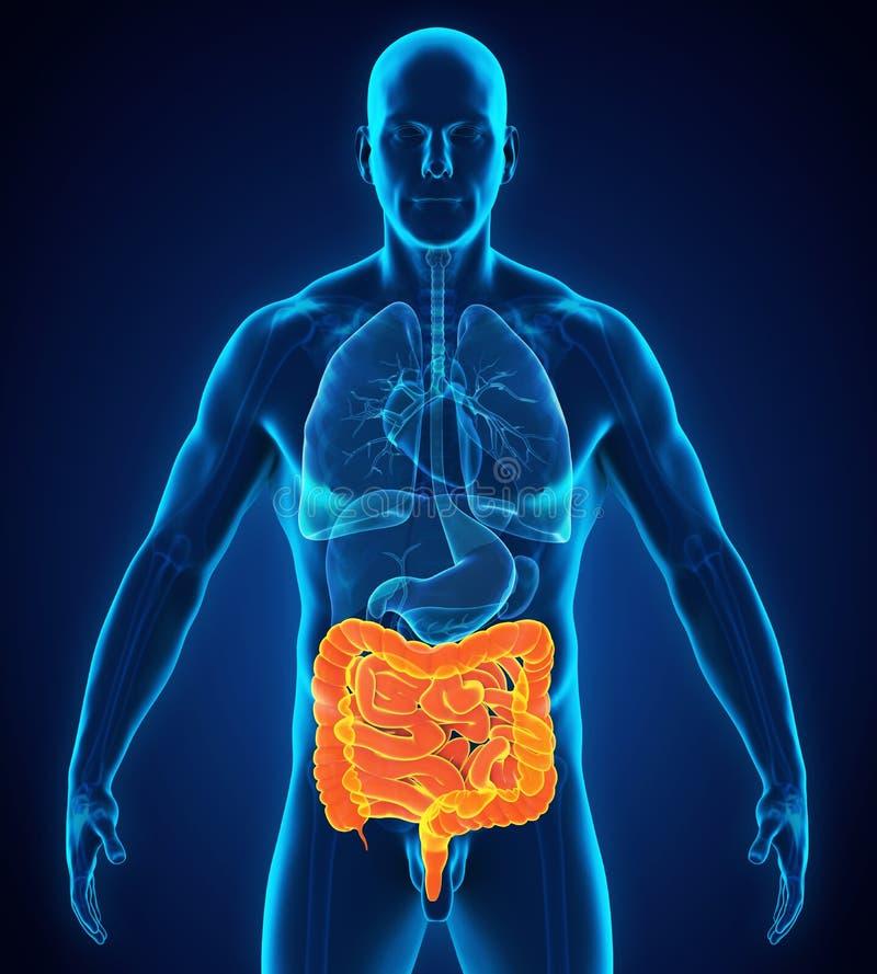 Anatomia umana dell'intestino illustrazione vettoriale
