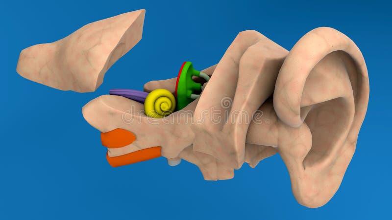 Anatomia umana dell'orecchio fotografia stock libera da diritti