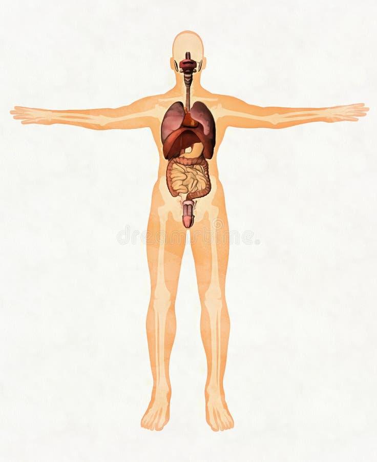 Anatomia umana dell'uomo, percorso di ritaglio di risparmi royalty illustrazione gratis