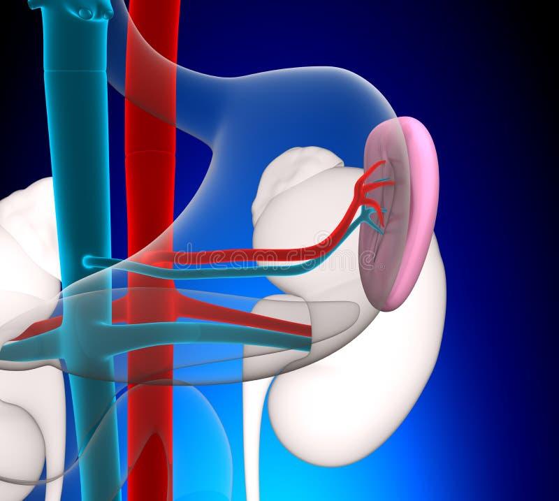 Anatomia umana della milza con l'apparato circolatorio su fondo blu illustrazione vettoriale