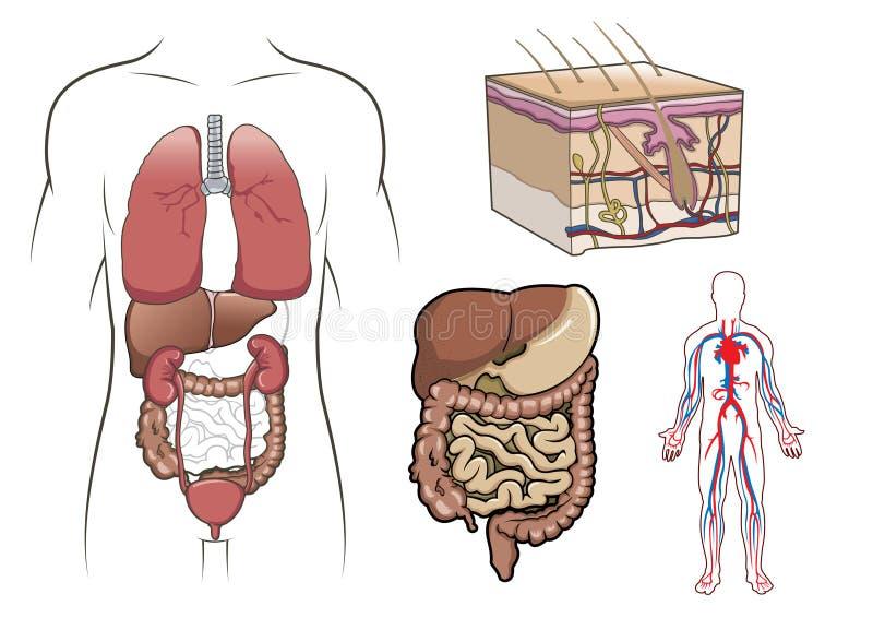 Anatomia umana dentro   illustrazione vettoriale