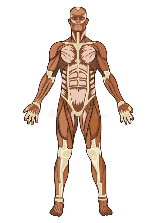 Anatomia umana dentro   royalty illustrazione gratis
