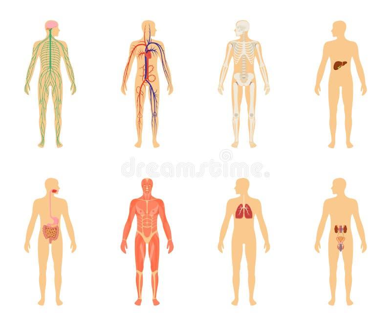 Anatomia umana Insieme dell'illustrazione di vettore isolato su fondo bianco illustrazione vettoriale