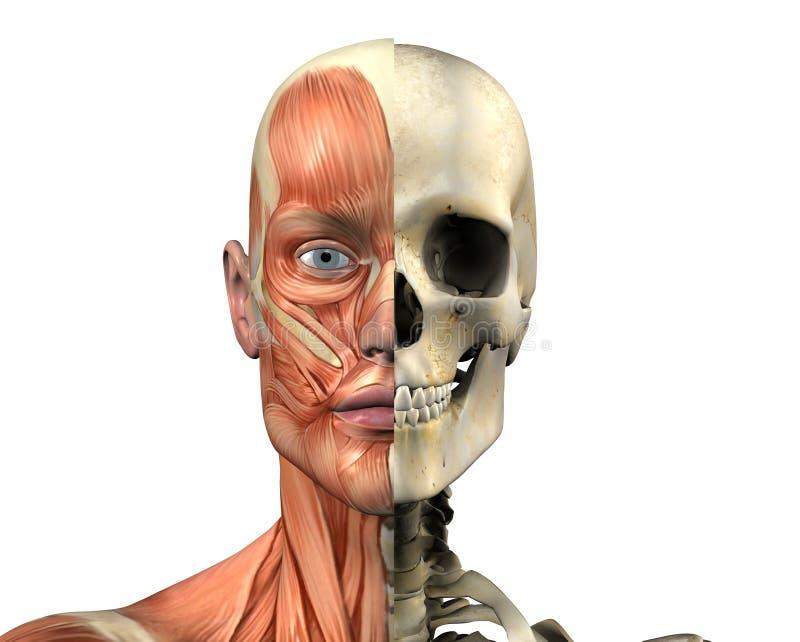 Anatomia umana - muscoli e cranio - con il percorso di residuo della potatura meccanica illustrazione vettoriale