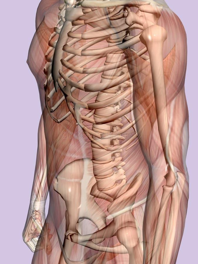 Download Anatomia Un Uomo Muscolare, Trasparente Con Lo Scheletro. Illustrazione di Stock - Illustrazione di background, salute: 201241