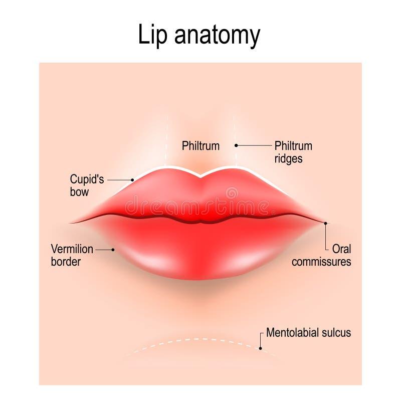 Anatomia wargi ilustracji
