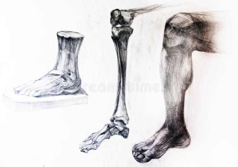 anatomiben som tecknar skelett- studioarbeten stock illustrationer