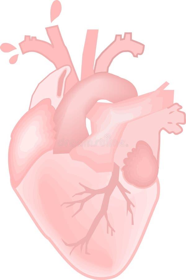 Anatomic hjärtavektor royaltyfria bilder