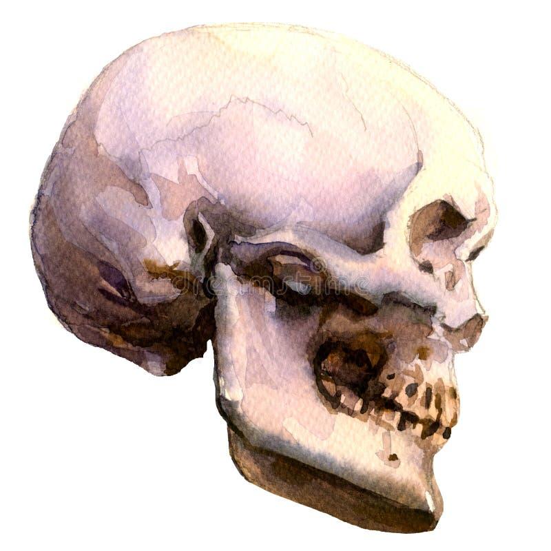 Anatomic mänsklig skalle, sidosikt, vattenfärgillustration på vit vektor illustrationer