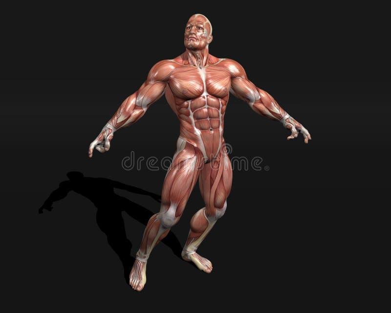 Download Anatomic model stock illustration. Image of anatomic - 13499839
