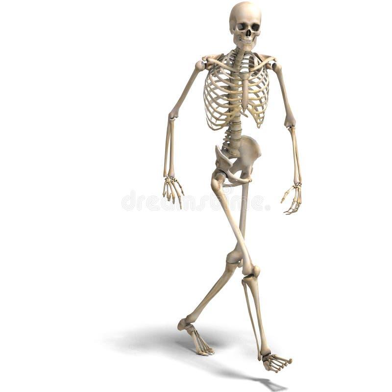Anatomical correct male skeleton stock illustration