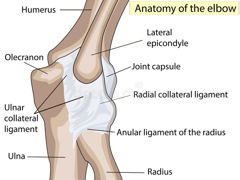 Anatomical Design. Posterior And Radial Collateral Ligament Of The ...