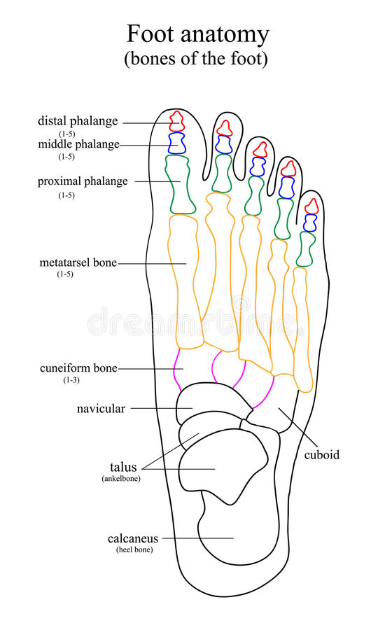 Anatomical Drawing Of The Foot Stock Vector - Illustration of ...