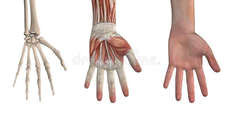 anatomical handsamkopieringar stock illustrationer