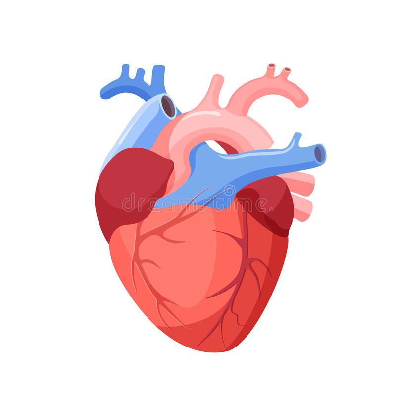 Anatomical Heart Isolated. Muscular Organ in Human vector illustration