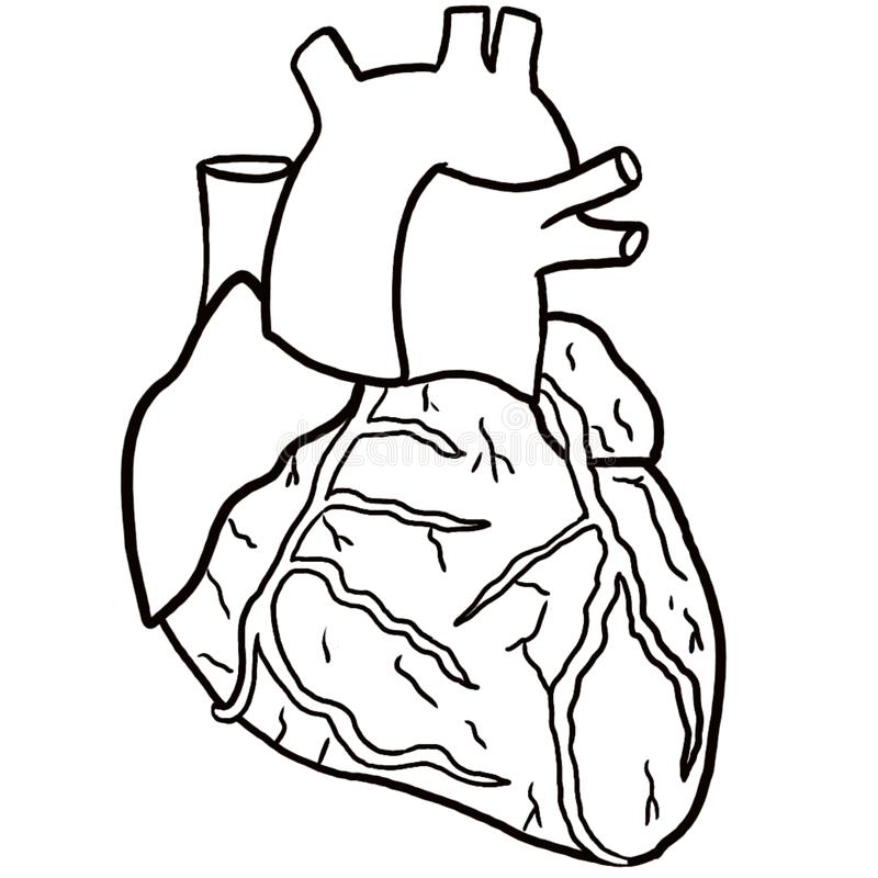 Anatomical Heart Coloring Page Stock Illustration Illustration Of Aorta Coloring 137564241